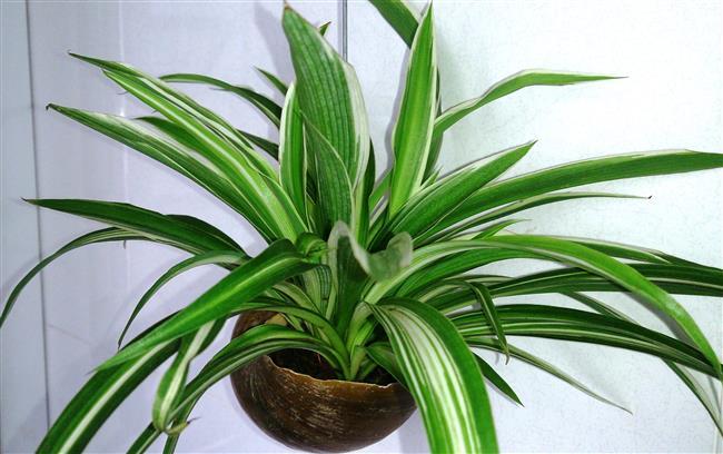 Alerjileri azaltır  Evinizde ki tozlar hiç şüphesiz alerjileride tetikliyor.Bu durumdan muzdarip iseniz evinizin bir köşesinde kurdele çiçeği bulundurun.Bu çiçeğin yaprakları oda içerisinde ki toksinlerin %90'ını yok eder.