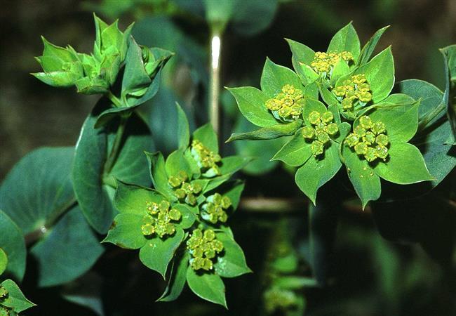 Çin Tıbbında En Çok Kullanılan 10 Şifalı Bitki - 10